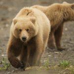 Bear Viewing In Alaska