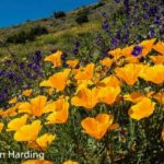 Oxnard Wildflowers
